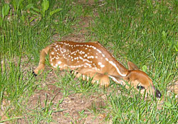 Guests came across this newly-born fawn on the trail.  A half hour later, it was gone, off with its mother.