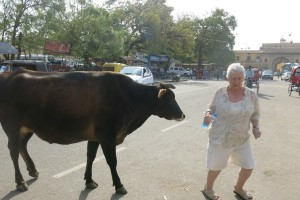 Sandra being pursued by a free-roaming cow in Jaipur, India.