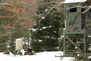 Turkeys are enjoying grain spilled from a deer feeder. On the right is Will's Tree House, a heated blind from which guests can get a close up look at turkeys, deer and other wildlife.