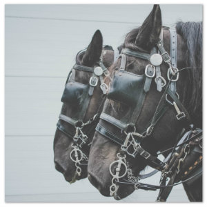 Two beautiful black horses ready to take a sleigh ride - image by hannah-troupe unsplash.com