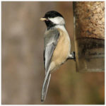 brown and white chickadee sitting on a feeder