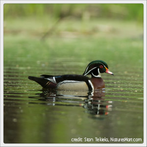 wood duck floating in a pond