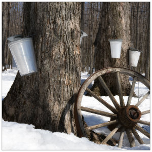 Several trees in the woods with silver buckets attached to catch maple syrup